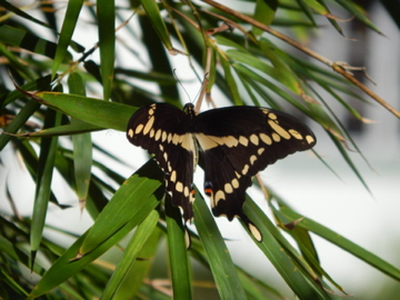 Butterfly on Bamboo